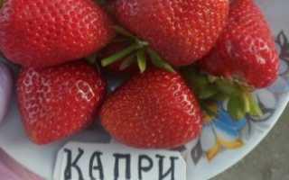 Клубника Капри — отзывы о сорте, описание, фото