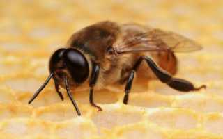 Пчела трутовка: как исправить семью и матку (фото, видео)