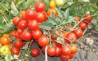 Томат Бони ММ: характеристики и описание сорта, урожайность, отзывы, фото