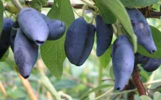 Жимолость — Югана — (15 фото): описание и выращивание сорта, отзывы