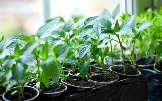 Как правильно сажать (сеять) перец на рассаду дома?