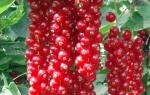 Красная смородина Джонкер Ван Тетс: описание сорта, фото, отзывы