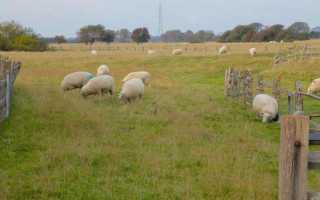 Овца куйбышевской породы: описание, характеристики, отзывы