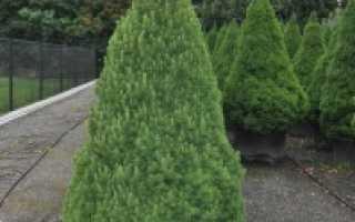 Ель Глаука Коника: общая информация, советы по уходу за растением в домашних условиях и при пересадке в открытый грунт