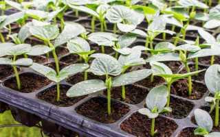 Как вырастить рассаду огурцов в домашних условиях — Сад и огород