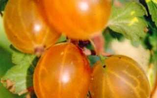 Крыжовник Русский желтый — посадка, выращивание, уход, видео