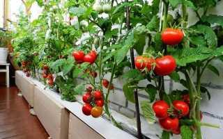 Помидоры на балконе: выращивание пошагово фото