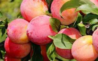 Слива алтайская юбилейная: описание сорта, фото, особенности выращивания