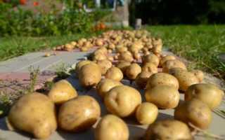 Как обработать картофель перед закладкой на хранение