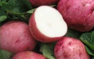 Картофель — Белая роза — (22 фото): описание и характеристика сорта, отзывы
