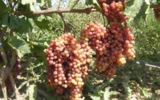 Виноград Велес — описание сорта с фото, отзывы, посадка и уход