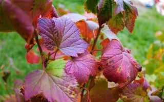 Чем обработать смородину осенью