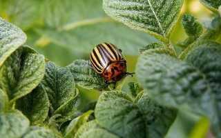Искра от колорадского жука: отзывы, инструкция по применению