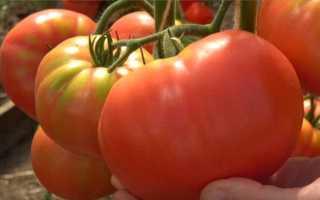 Томат Гордость Застолья: характеристика сорта, описание, отзывы, урожайность