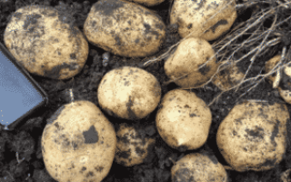 Высокая ботва у картофеля: что делать, хорошо или плохо