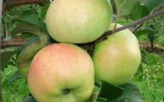 Яблоня Богатырь — описание сорта с фото, посадка и уход, отзывы