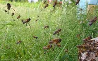 Пчелиное воровство: что делать когда уже началось?