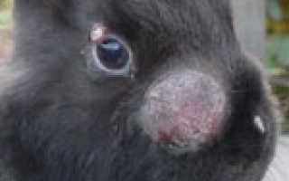 Миксоматоз кроликов: причины, лечение, симптомы, профилактика, Ветеринарная служба Владимирской области
