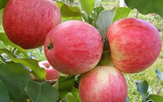 Фото и описание яблони Мельба, посадка, уход, полив и подкормка видео
