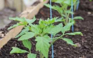 Посадка помидор в парник: высадка рассады томатов в теплицу, как правильно ухаживать под пленкой, из семян