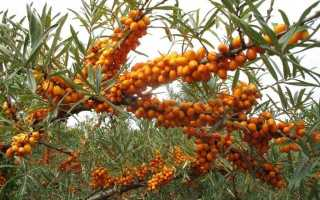 Облепиха крушиновидная — выращивание, уход и применение