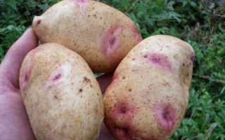 Картофель Галактика: описание сорта, фото, отзывы