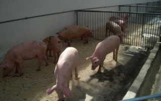 Как сделать свинарник: размеры и проект, устройство сарая для свинок, из чего строить мини-свиноферму