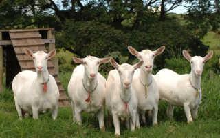 Зааненская порода коз: описание, продуктивность, уход