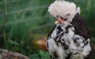 Павловские куры: описание породы, фото