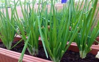 Выращивание из семян лука-батуна на подоконнике