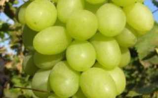 Виноград Благовест описание и характеристика сорта, особенности и отзывы с фото