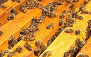 Cколько пчел в одном улье