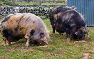 Породы свиней — ландрас, вислобрюхие, дюрок, кармалы, мангал, крупные белые, йокшир, карликовые, фото с описанием, видео
