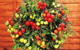 Ампельные помидоры: выращивания и ухода за томатами, описание, сорта