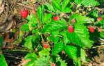 Земляника руяна: описание сорта, фото, отзывы