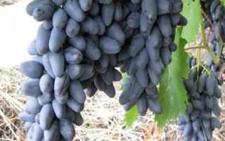 Виноград Ромбик: описание сорта