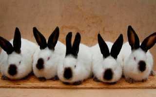 Калифорнийский кролик: особенности и перспективы разведения — Cельхозпортал