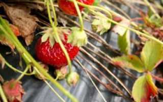 Выращивание клубники по финской технологии: сорта, инструкция видео