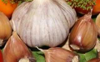 Озимый чеснок Богатырь: описание сорта и отзывы огородников