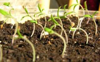 Подкормка для рассады помидор народными средствами: чем и как подкормить?