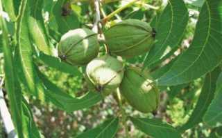 Зимостойкие орехи для Нечерноземья — Сады Сибири