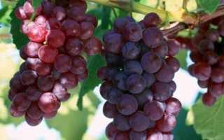 Виноград Лидия: описание сорта с характеристикой и отзывами, особенности посадки и выращивания, фото