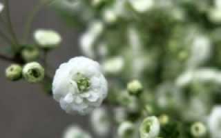 Спирея сливолистная Плена, Spiraea prunifolia Plena купить, цена Киев, уход, фото, описание, посадка