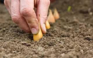 Как посадить лук-севок в открытый грунт весной пошагово