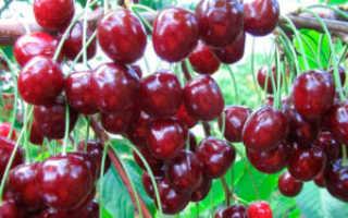 Черешня Родина: описание сорта, фото, опылители, морозостойкость, отзывы