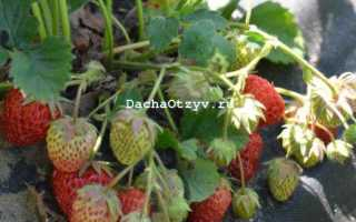 Клубника Искушение f1: описание сорта, отзывы садоводов с фото и видео