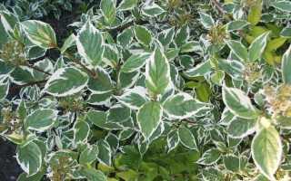 Дерен белый — Сибирика Вариегата: описание растения, посадка и уход