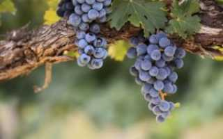 Домашнее вино из винограда изабелла простой рецепт как сделать в домашних условиях