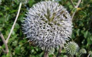 Мордовник шароголовый: описание и выращивание медоноса