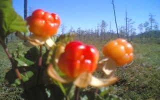 Где растет морошка: в какой природной зоне, в каких областях России, сроки созревания и места сбора ягоды